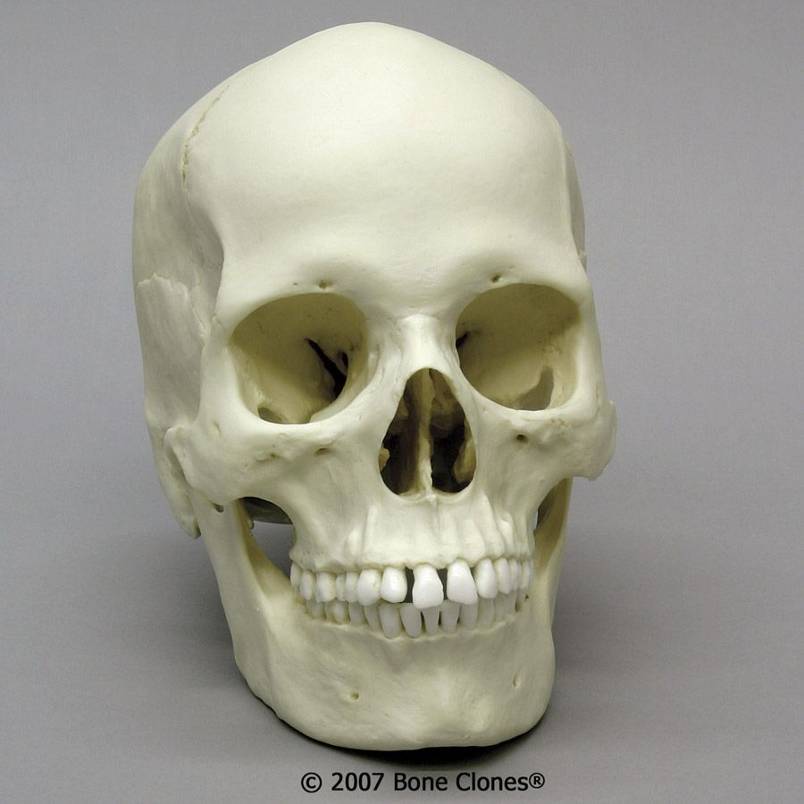 Female Skull | artistic anatomy | Pinterest | Anatomía, Anatomía ...