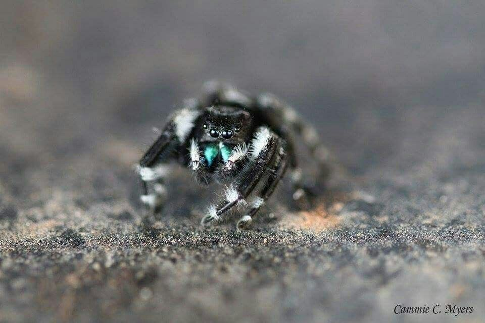 Macro of a friendly Jumping Spider :) #macro #spider #black