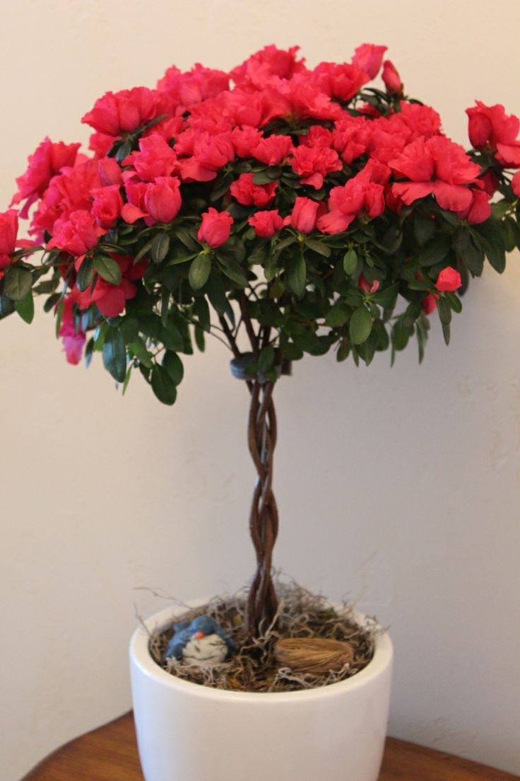 Red Flowering House Plants red azalea topiary #houseplants, beautiful for #xmas. care tips