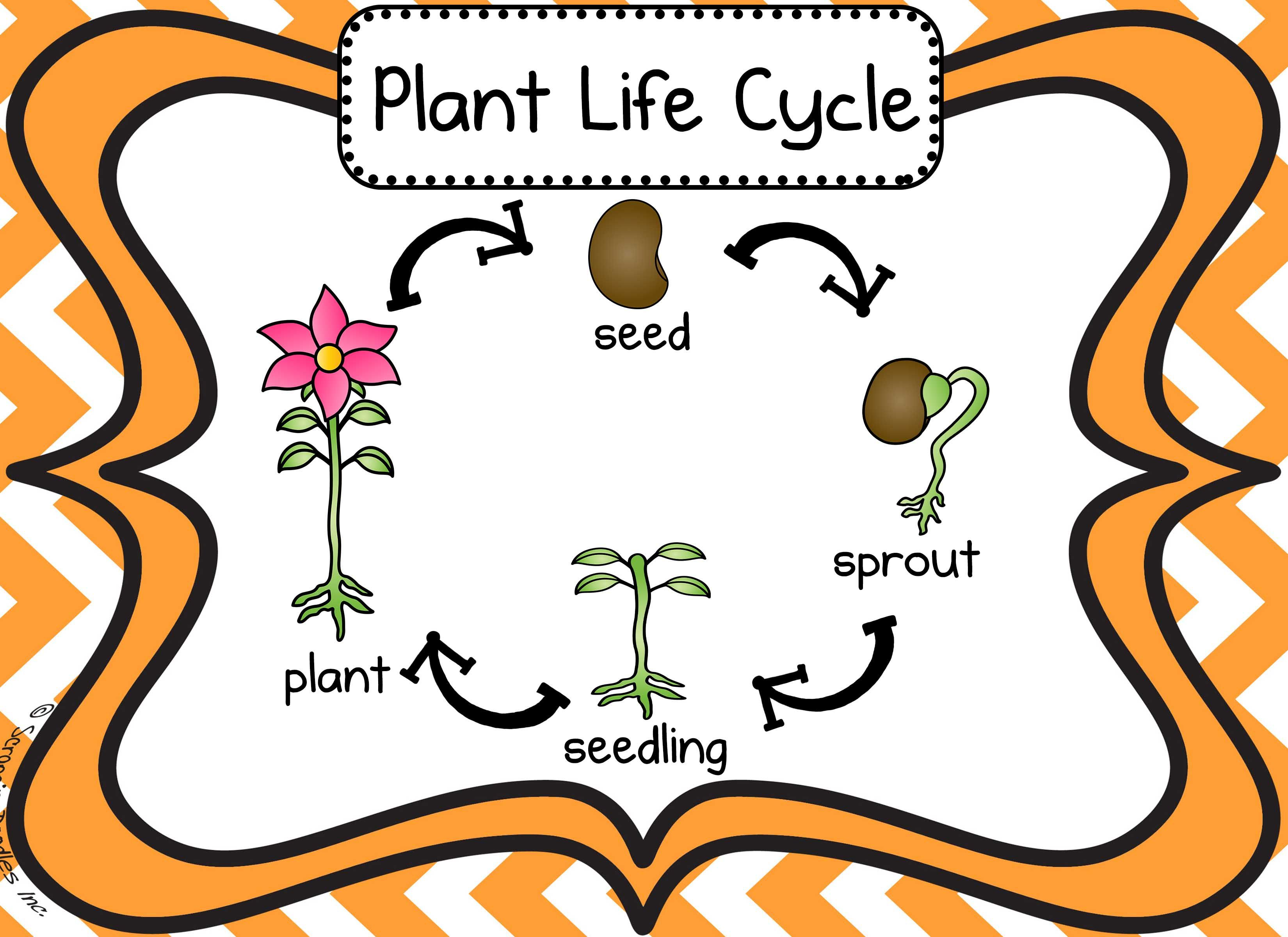 Pin By Maria Avila On For Lian Plant Life Cycle Flower Life Cycle Preschool Life Cycles [ 2400 x 3300 Pixel ]