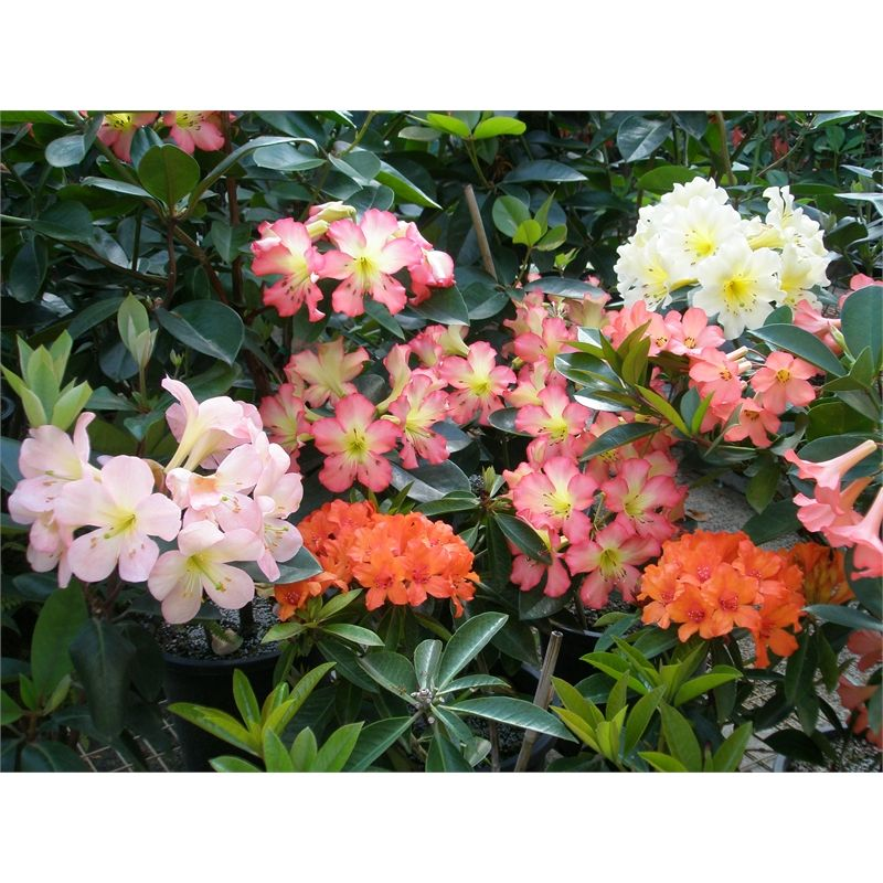 200mm Tropical Vireya Assorted Rhododendrons I N 3670222 Bunnings Warehouse Rhododendron Tropical Garden Plants