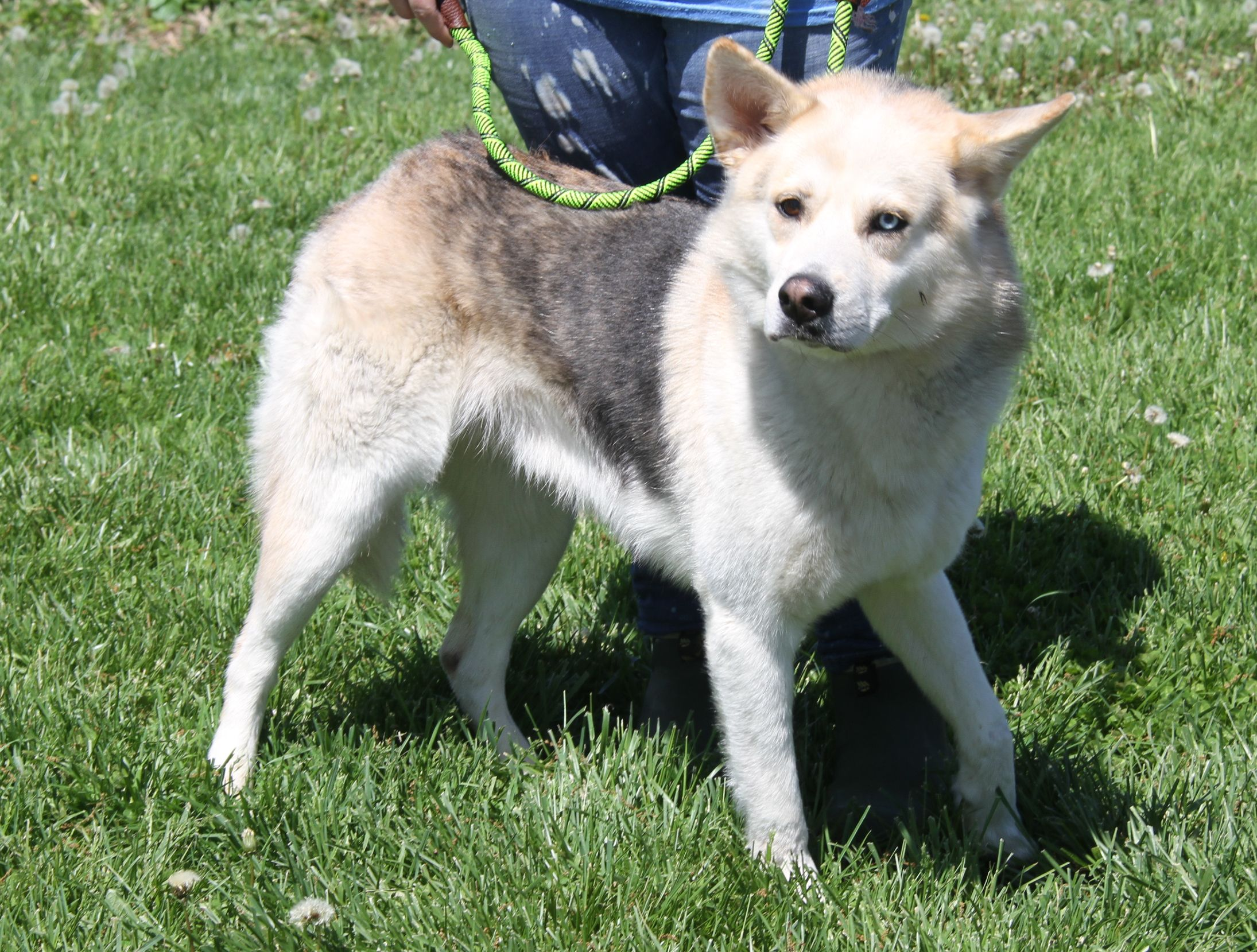Clark is an adoptable husky searching for a forever family