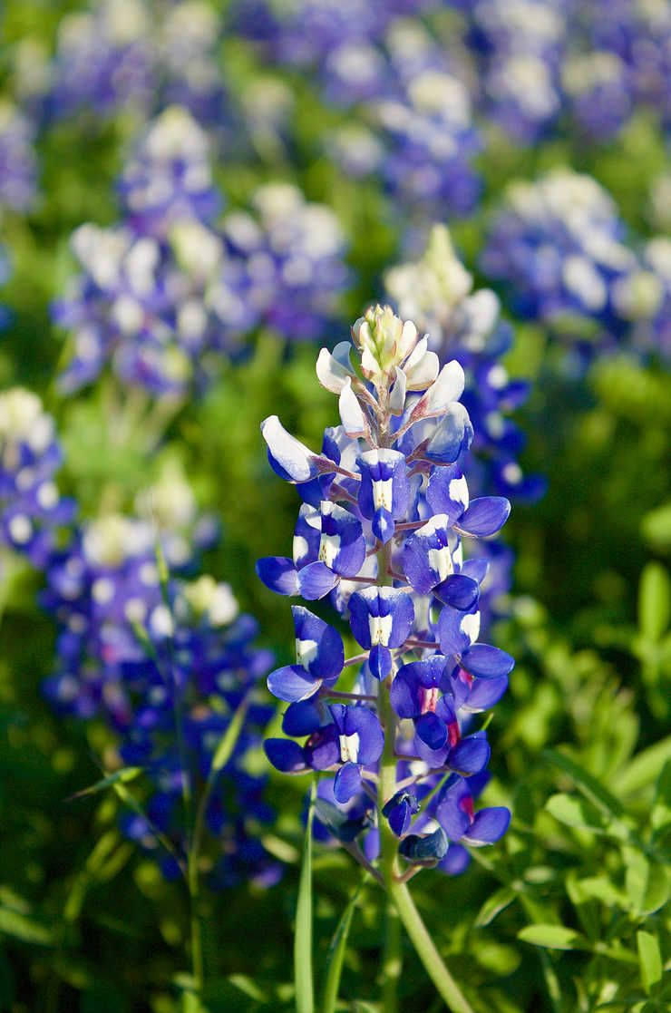 Seeing the Texas Bluebonnets: A guide | Blue bonnets ...