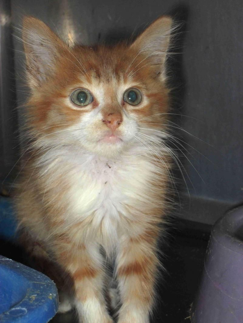 Meet Cat 24 June 25 A Petfinder Adoptable Domestic Medium Hair Orange And White Cat Greenville Tx This Orange And White Cat White Kittens Orange Tabby