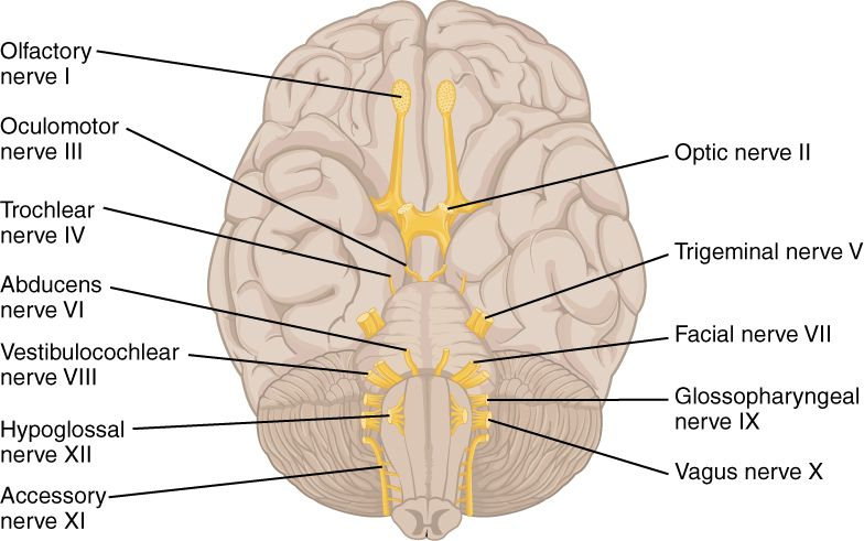 File 1320 The Cranial Nerves Jpg Wikimedia Commons Cranial