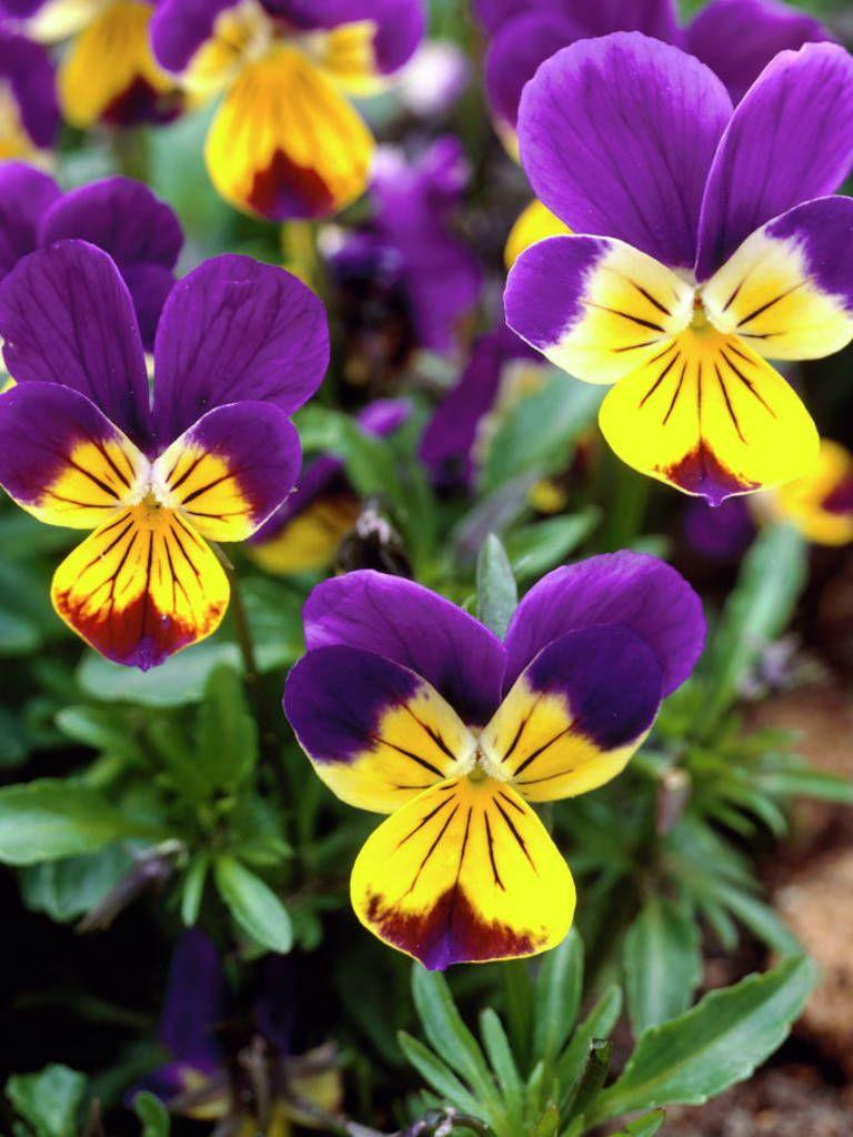Viola Tricolor Heartsease Johnny Jump Up Pansies Rare Flowers