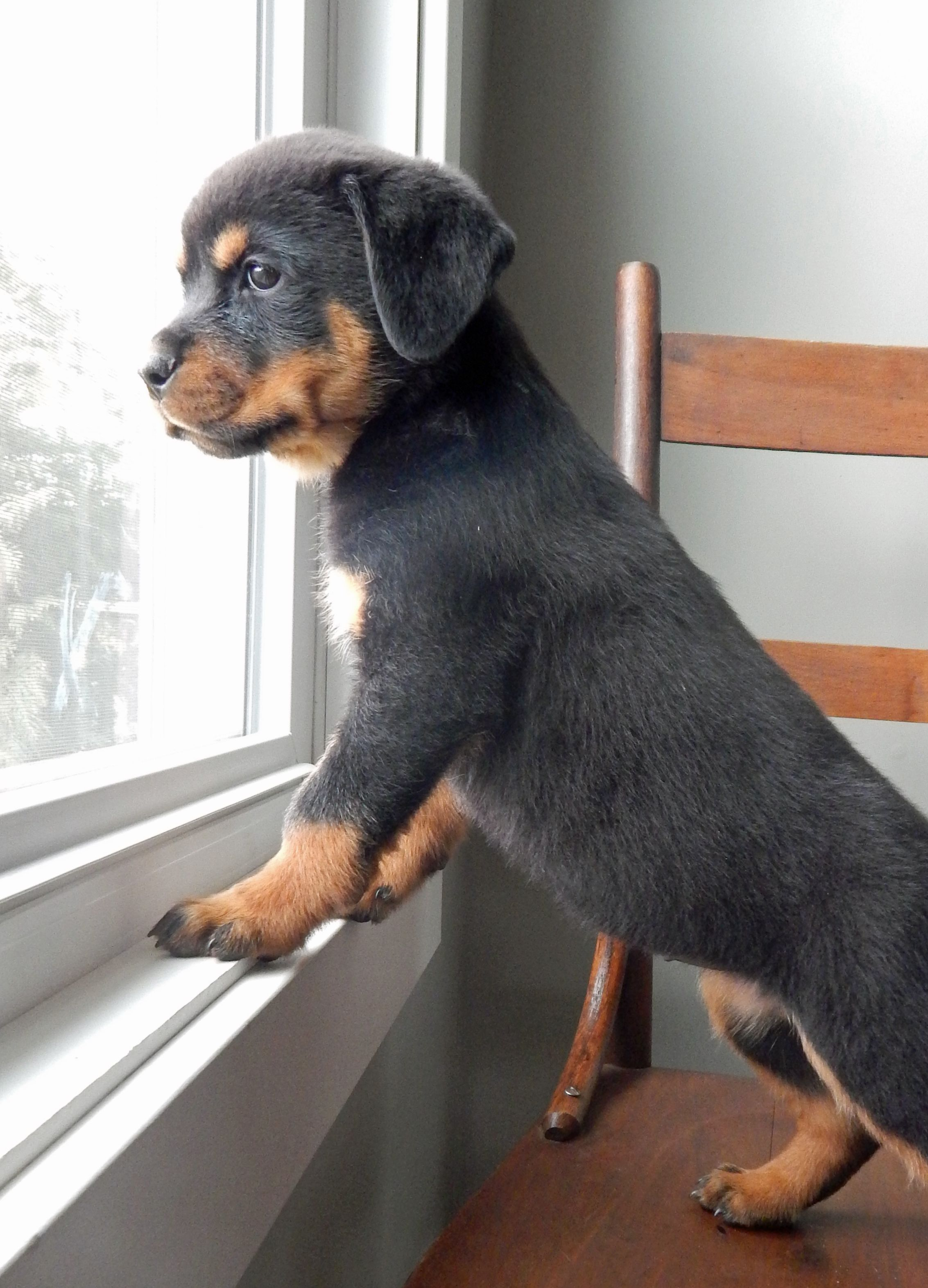 Pin By Jacob On Cute Dogs And Puppies In 2020 Rottweiler Puppies
