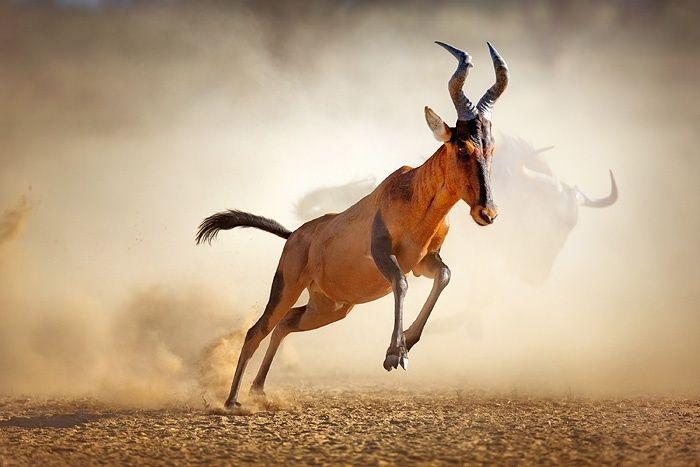 Red hartebeest running in dust by Johan Swanepoel | TOOVIA