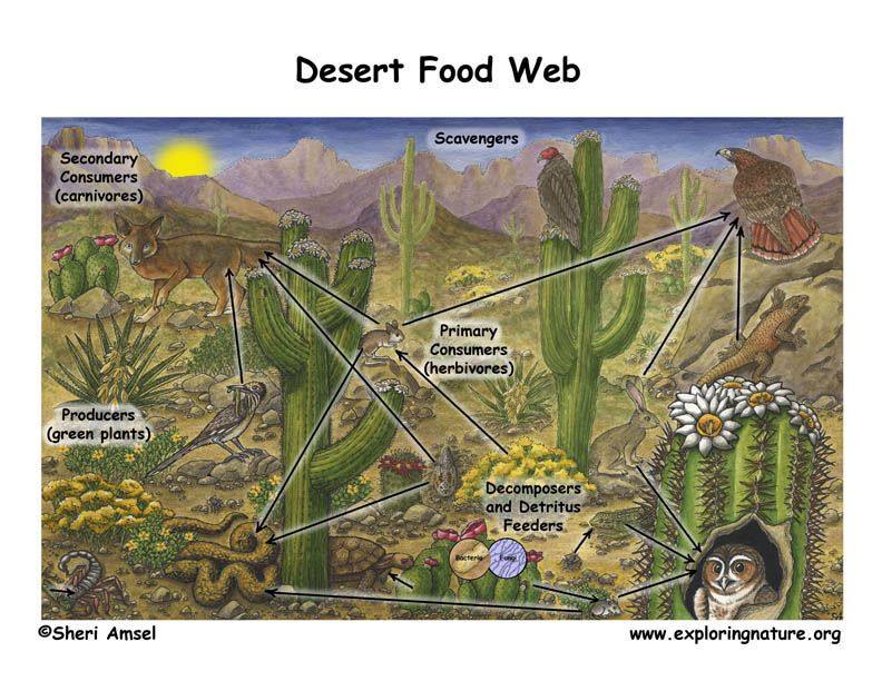 Desert Food Web (With images) Food web, Desert biome