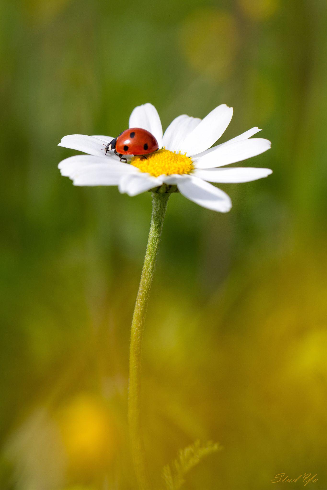 Madame Ladybird sur sa fleur.
