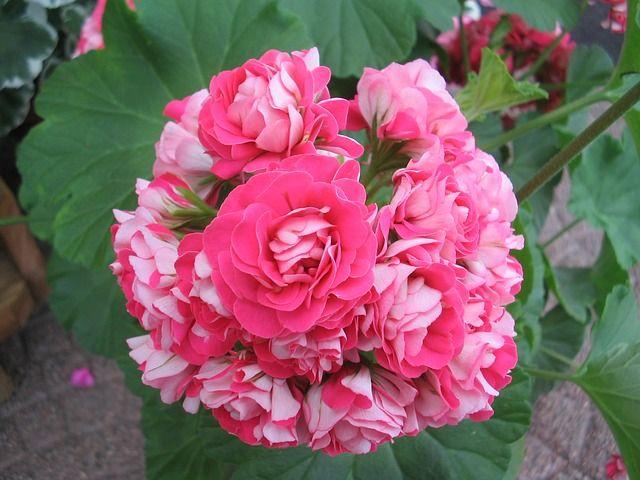 Geranium, Pink, Double, Summer