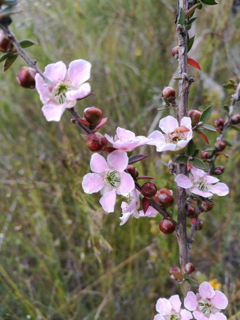 Leptospermum Squarrosum Bush Australian Flower Essences