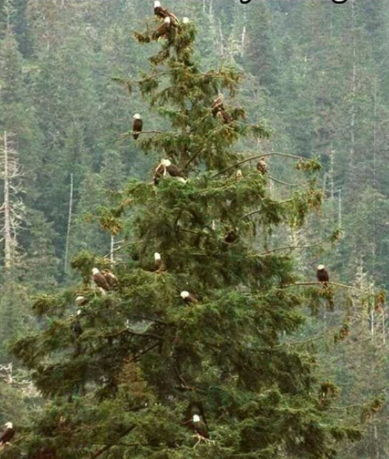 Columbia Christmas Tree: Natural Christmas Tree, Christmas Tree