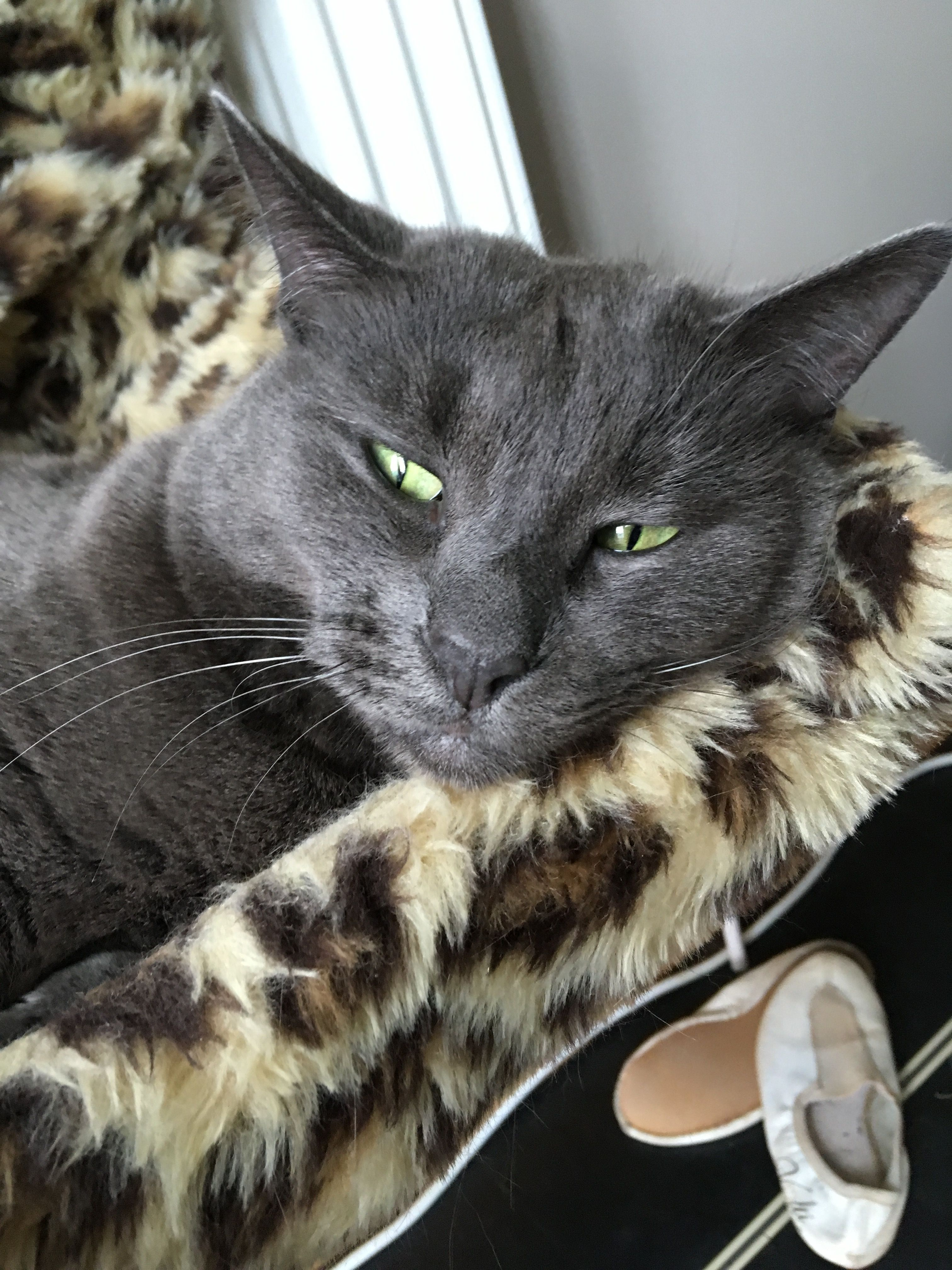 Pin By Stephanie Hazard On Russian Blue Grey And White Cat Russian Blue Korat Cat