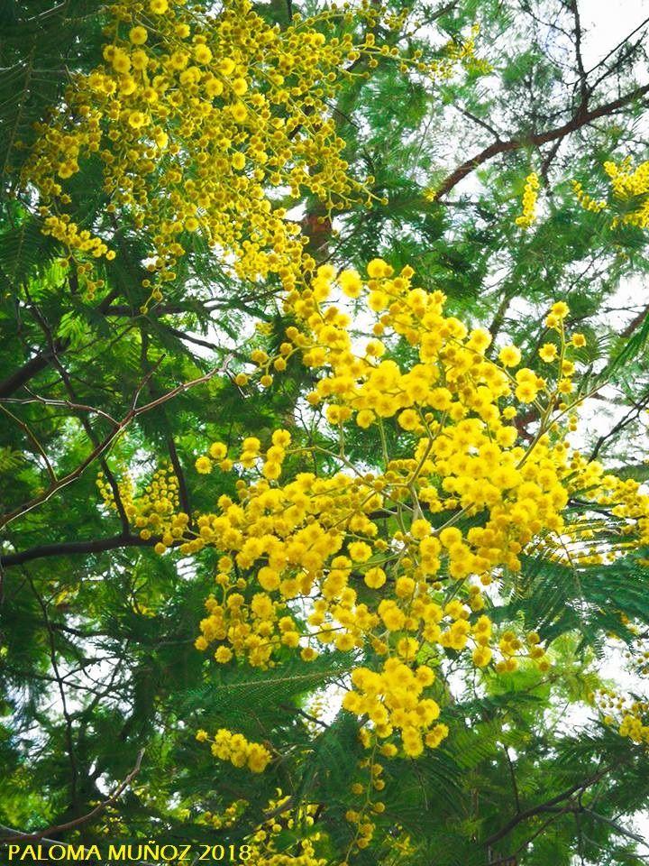 mimosas en el Paseo de Fernán Núñez en los jardines de El Retiro de ...