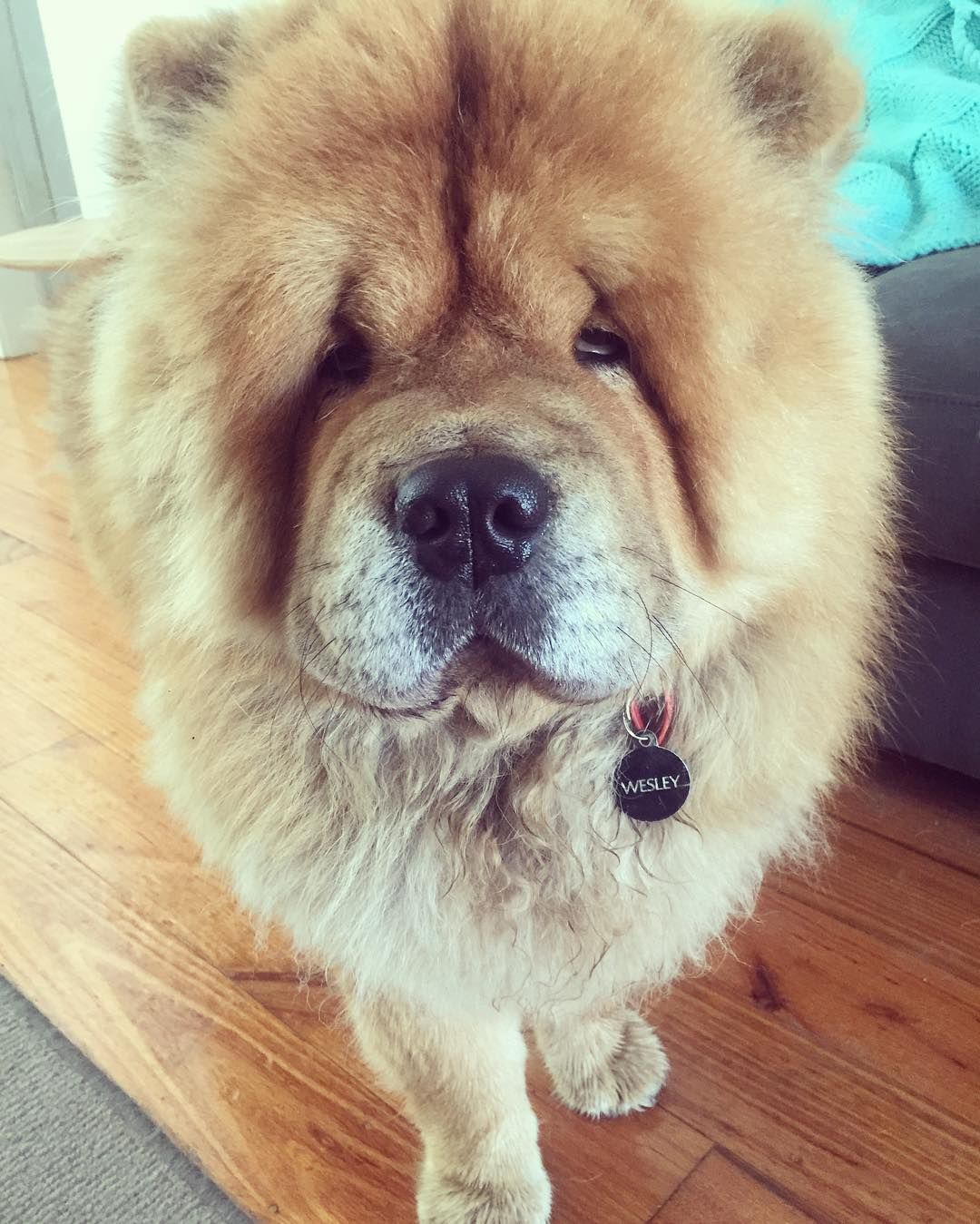 This Is My Sleepy Face Wesleychow Chowchows D Chowchows