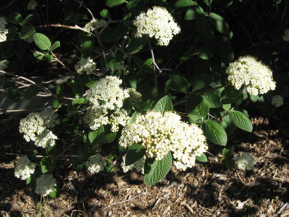 Verbinum Flowers In Spring Plants Garden Flowers