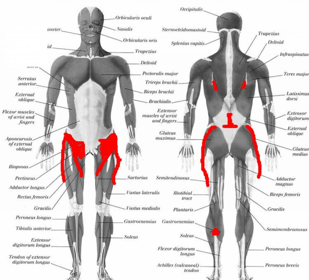 lower back muscle anatomy - Google Search