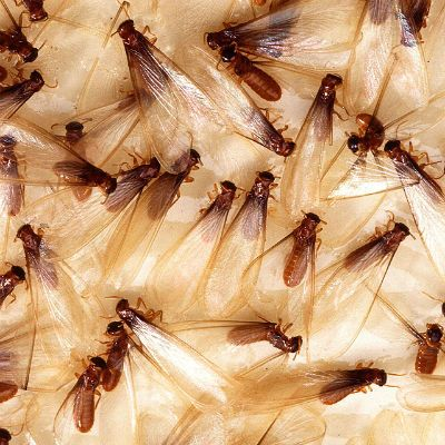 Captivating Flying Termites