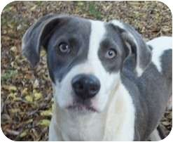 Maggie Claremore Ok American Bulldog Pointer Mix American