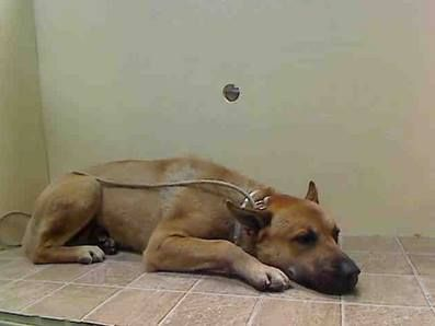 Ny Urgent Past Due Haven Is Scared In Shelter Therefore At Greater Risk Haven A0988708 Past Due Male Tan Belg Malin Dog Adoption Dogs Malinois