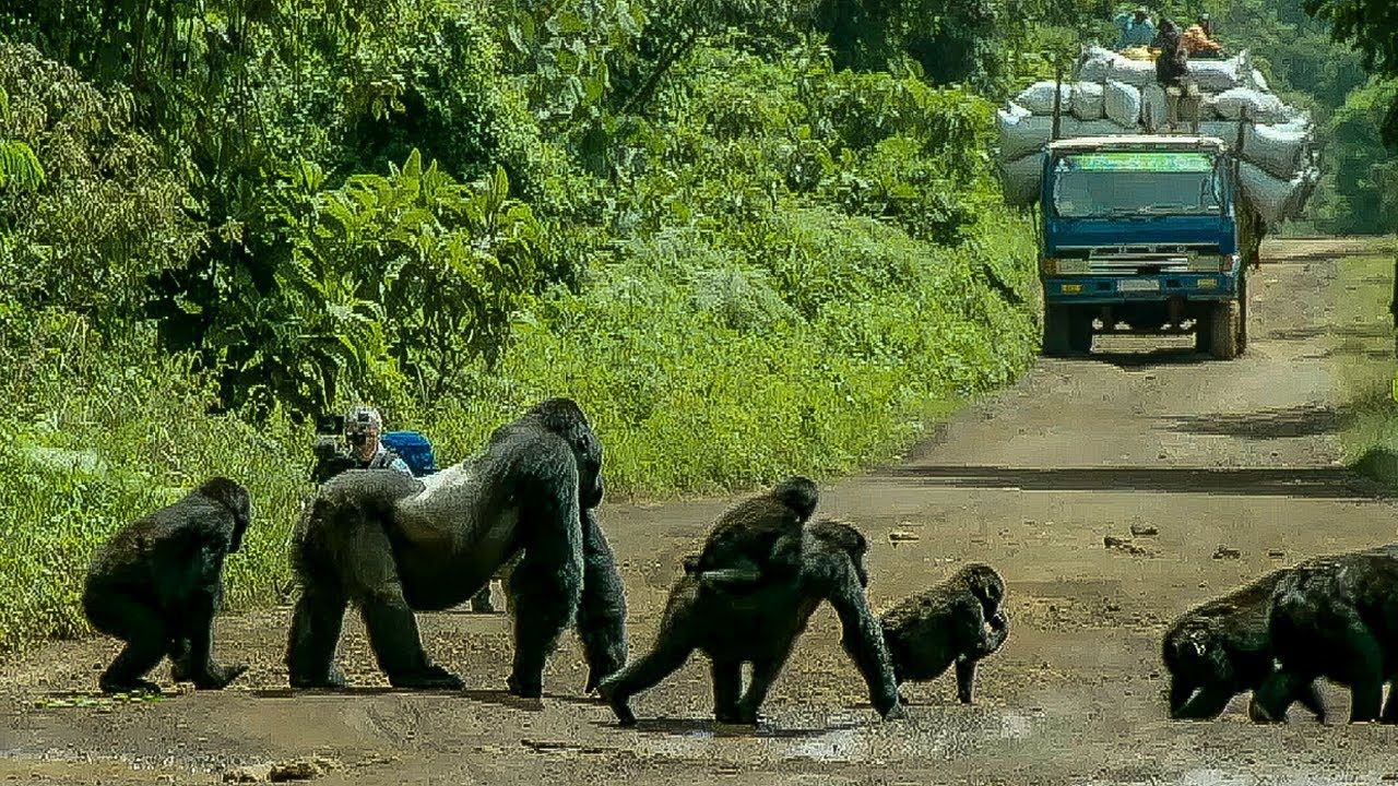 Proud Silverback Gorilla Stands in the Middle of the Road