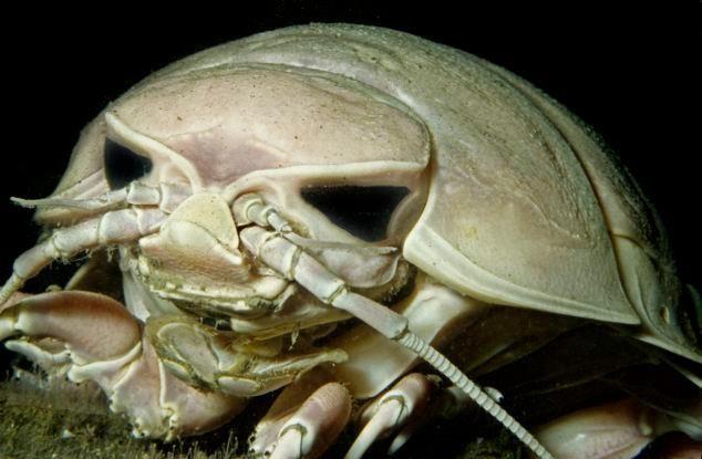 Giant Isopod A Product Of Deep Sea Gigantism Animals Pinterest