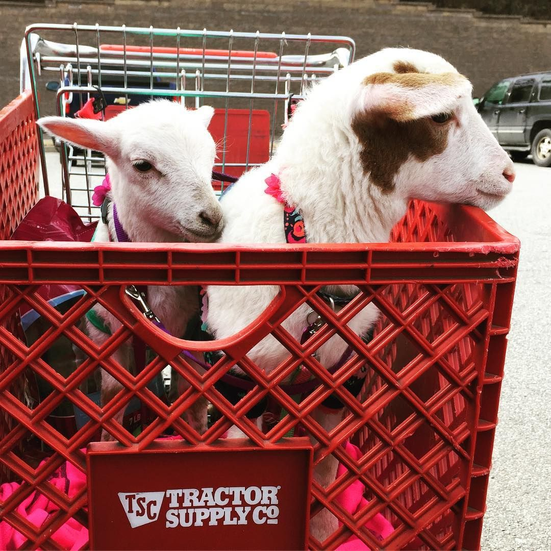 Tractor Supply Welcomes All Leashed Friendly Animals Of All Kinds Goats Sheep Horses Dogs Bring Them In For A Treat Animals Dog Supplies Goats Funny