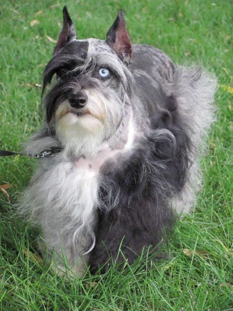 Merle Schnauzer Puppies Merle Schnauzer Breeder Mini Schnauzers