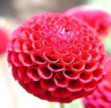 Risultati immagini per dalie grande fiore