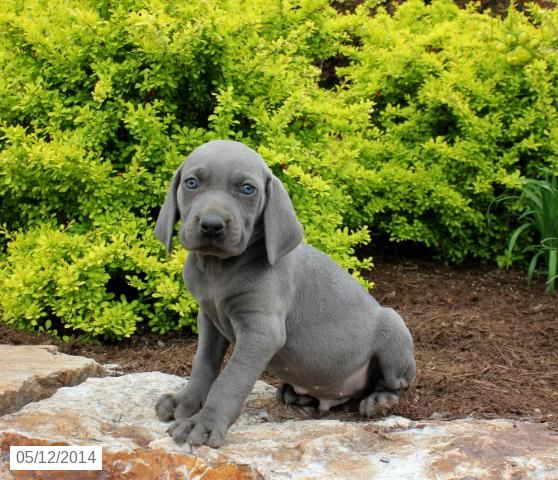 Kyle Weimaraner Puppy For Sale In Ickesburg Pa Pups Puppies