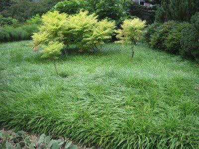 Liriope Mondo Grass Mondo Grass Lily Turf