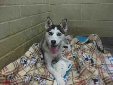 Husky With Broken Leg At Los Angeles Animal Shelter In Dire Need