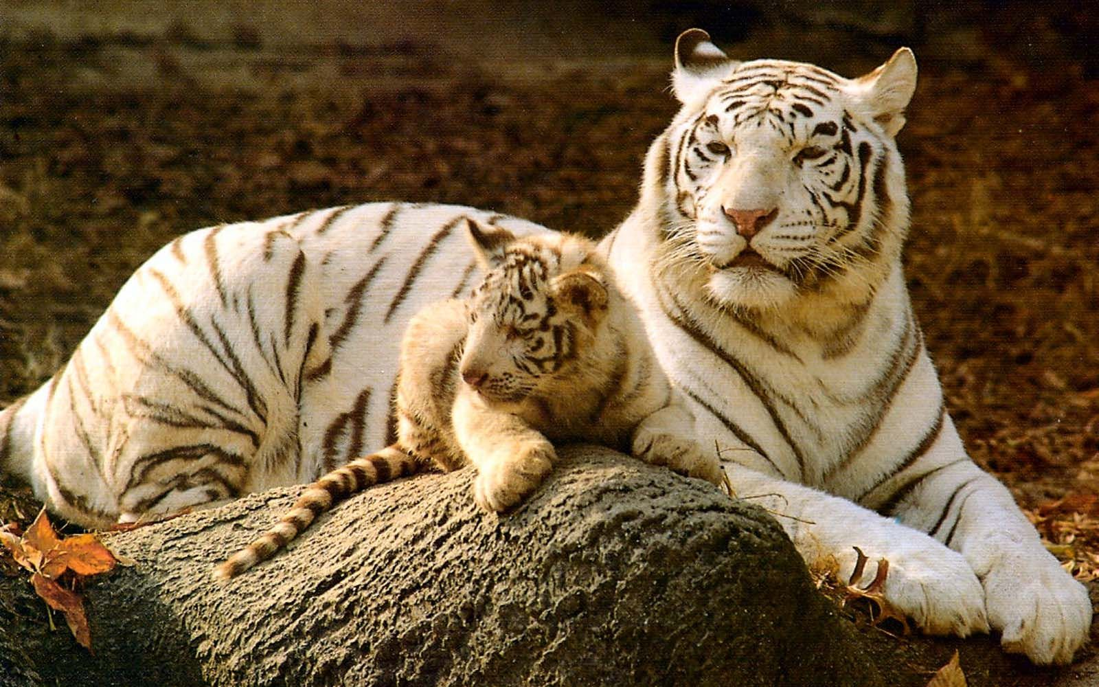 White Tiger Cub Wallpaper Hd Tiger Hd Wallpapers Mobile Wallpapers