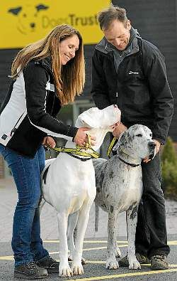 Shrewsbury S Blind Great Dane And Guide Dog Rehomed Great Dane