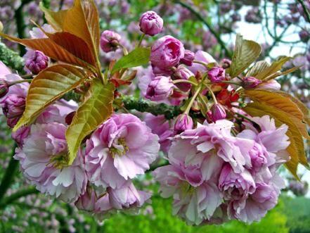 These Lovely Dogwood Tree Cultivars Offer Four Season Garden Beauty Flowering Trees Blooming Trees Dogwood Trees