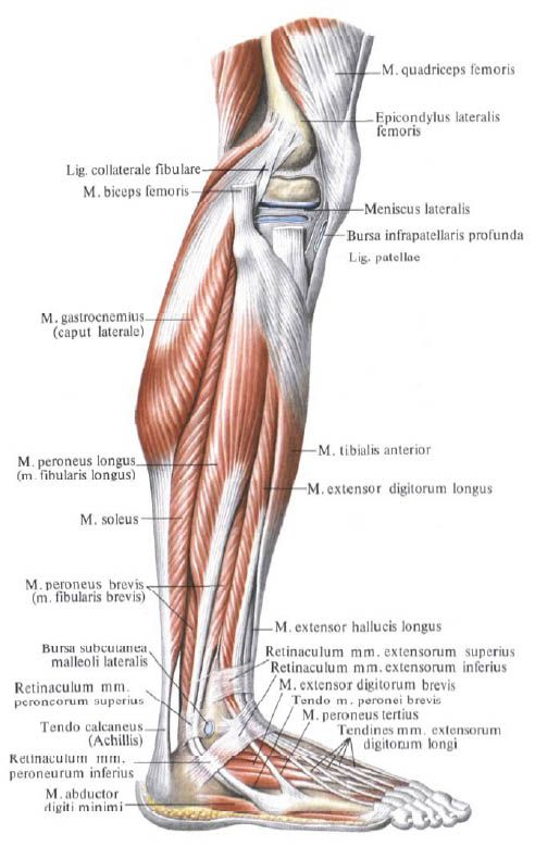 jambe anatomie - Recherche Google | Jambe et pied | Pinterest