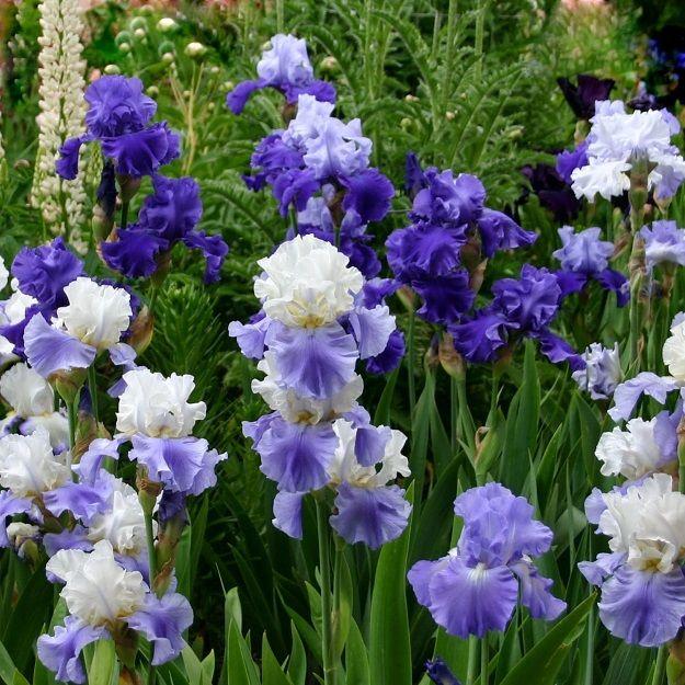 Re Blooming Bearded Iris Blue Mix Pre Sale Now Ships Late Summer Early Fall Flower Garden Plans Iris Garden Iris Flowers
