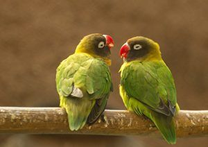 Love Birds Beautiful Bird Pairbird Images For Free Download Full
