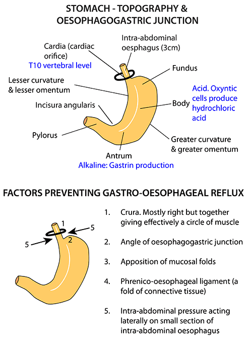 Stomach Parts Gastro Oesophageal Junction Cpc Exam Review
