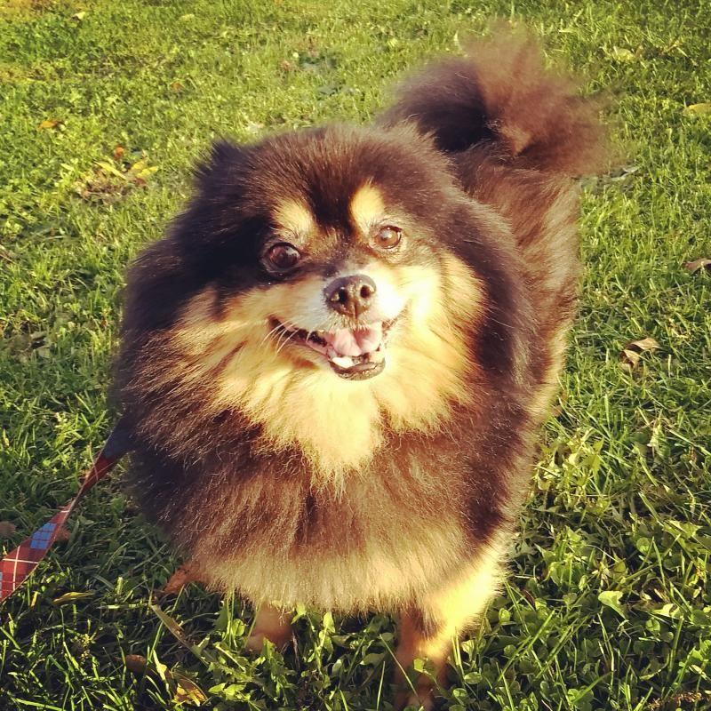 Adopt Jack on Petfinder Pomeranian dog, Pomeranian, Adoption
