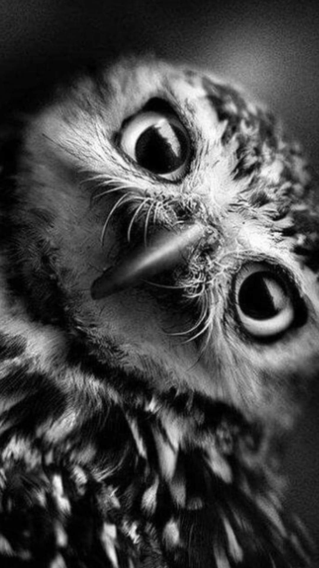 Owl black and white photography birds animals black white photography animales
