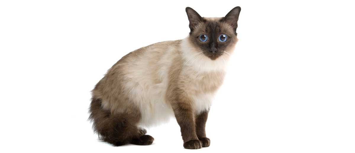What Are The Best Hypoallergenic Cat Breeds For People With Allergies Hypoallergenic Cats Cats Cat Breeds
