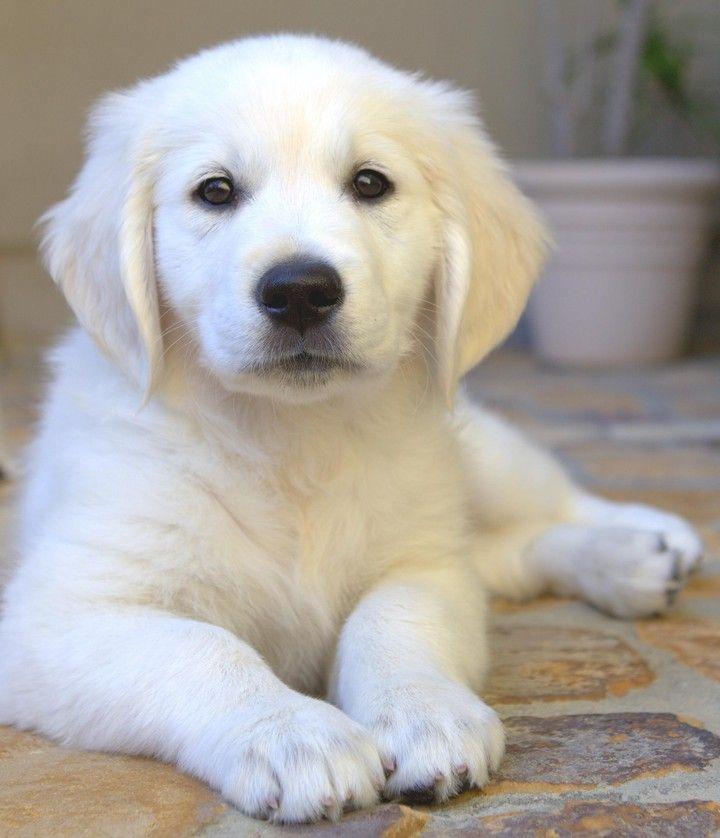 Golden Retrievers Dogs Somerset Golden Retrievers Contact Us