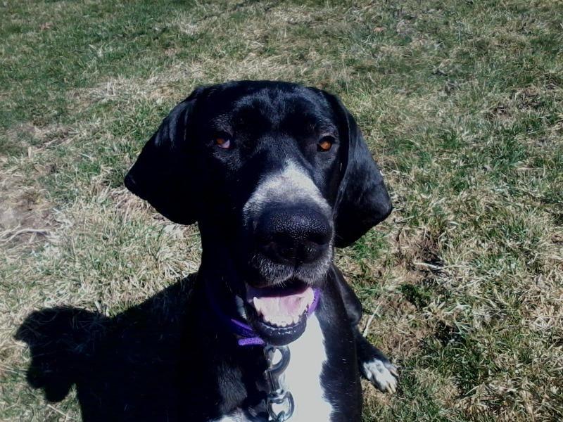 Adopt Betty On Great Dane Puppy Great Dane Dogs Dane Dog