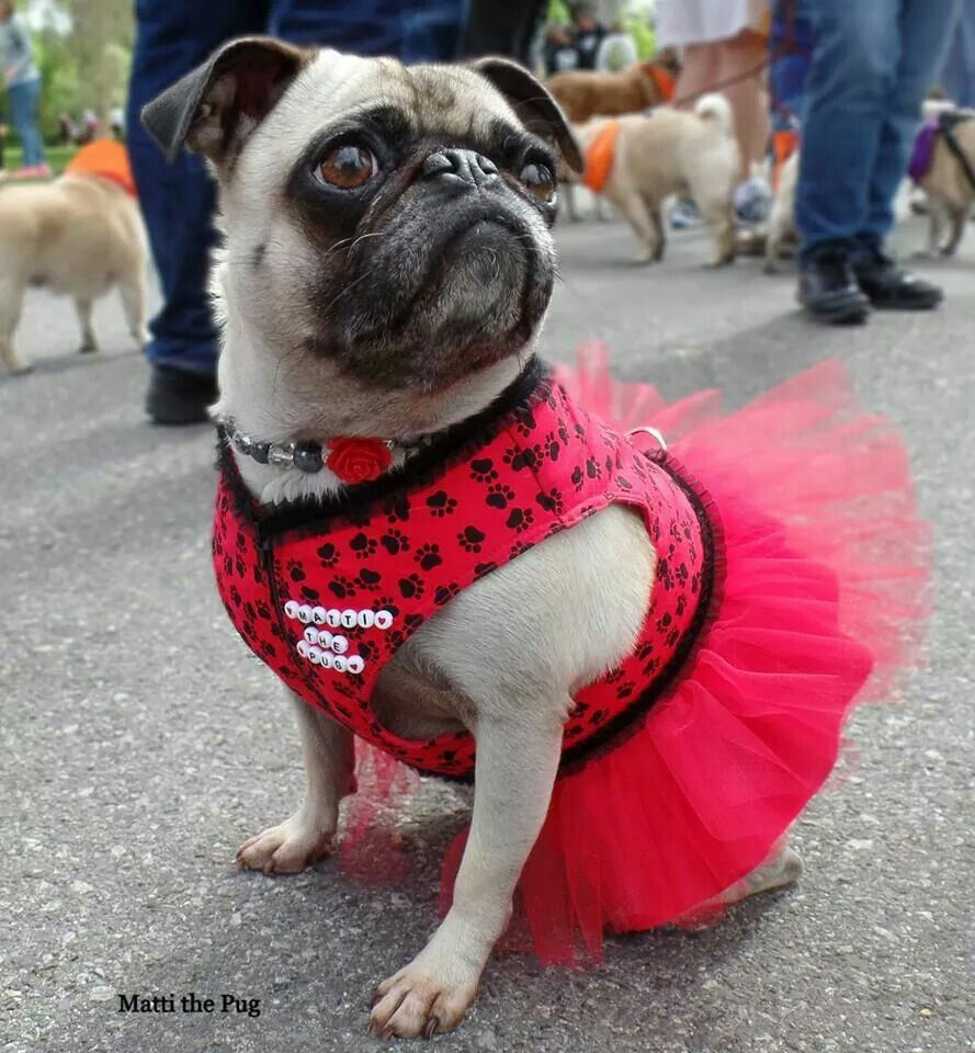 It S Not Easy To Look Tough In A Tutu This Pug Is Doing A Good