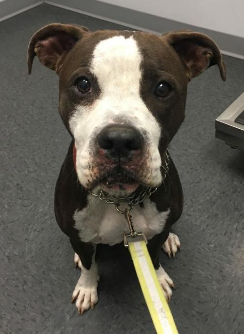 Adopt Dallas on Dog list, Humane society, Lap dogs
