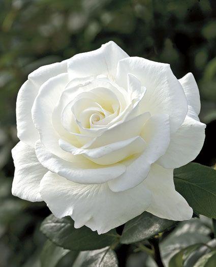 Sugar Moon Hybrid Tea Rose A Clean White Rose With An Intense