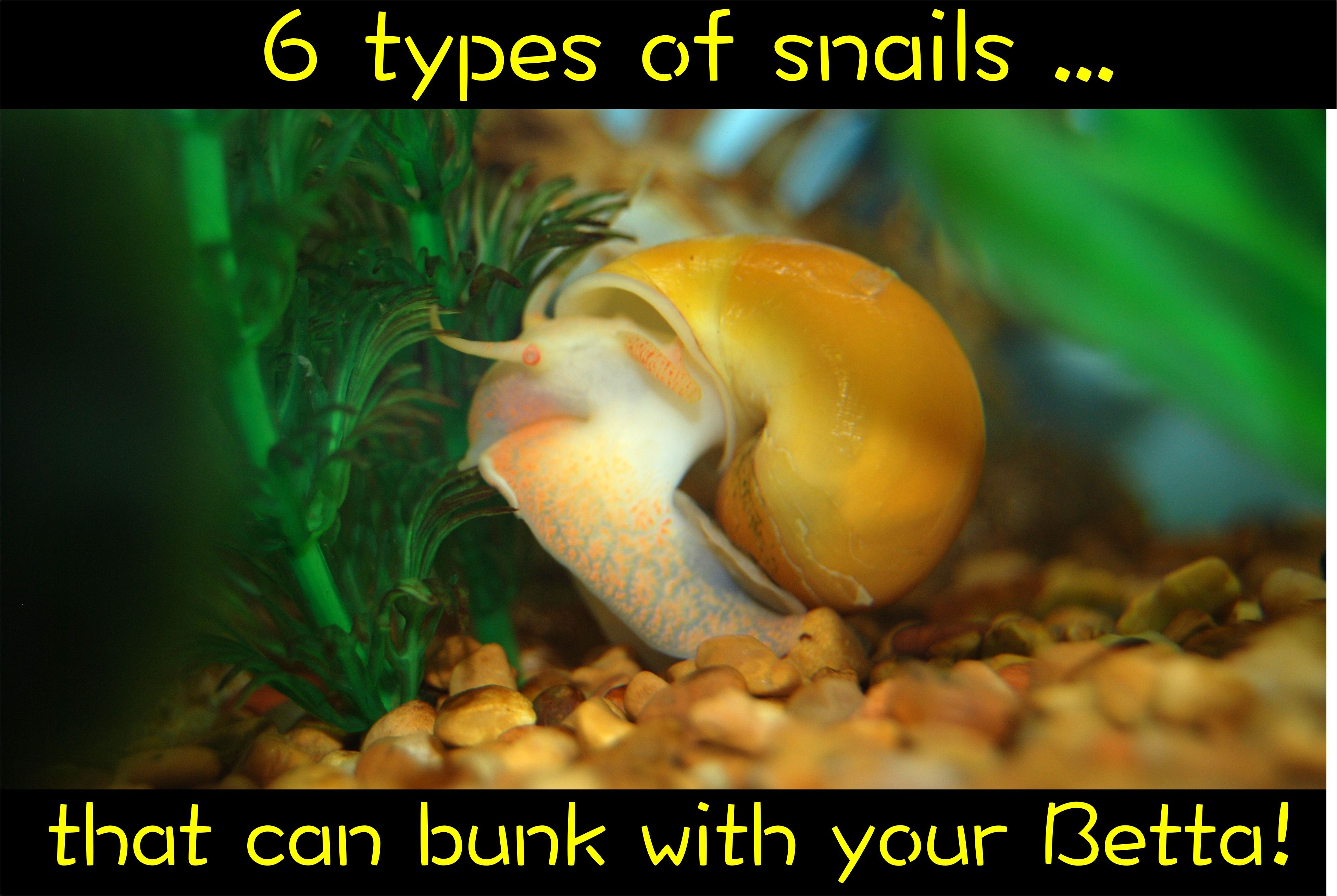 6 Types Of Snails That Can Bunk With Your Betta Betta Fish Tank Betta Fish Betta