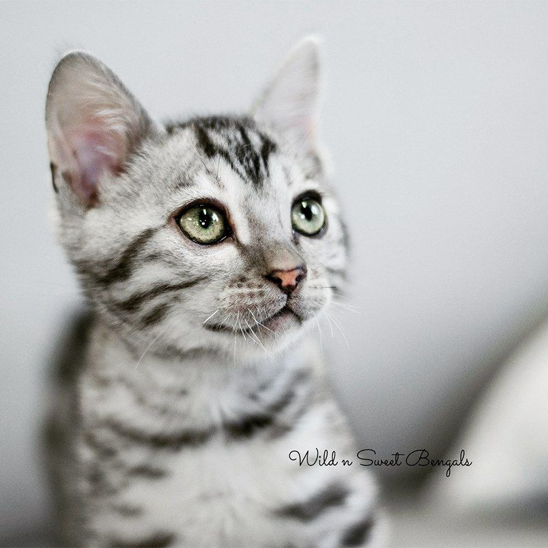 Cute Silver Bengal Boy From Wild N Sweet Bengals Cattery Key Words Bengal Kitten Kittens Cat Cats Bengal Cat Kitten Bengal Cat Breeders Bengal Cat